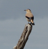 Mongolian Ground Jay